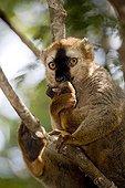 Red-fronted brown lemur biting the leg Kirindy Madagascar