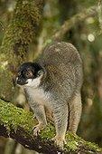 Brown Lemur on a branch Andasibe Madagascar