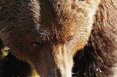Regard d'un Ours brun mâle en Finlande