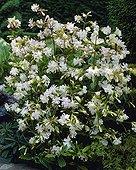 Saponaria officinalis Alba Plena