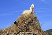 White Stork collecting grass to bring it to the nestFrance