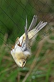 Willow Warbler caught in a net before tagging France