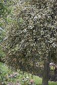 Ilex aquifolium Argentea Marginata Pendula