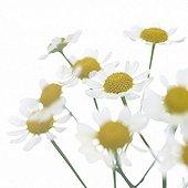 Bright White serie: Matricaria recutita