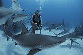 Shark handler feeds Caribbean Reef Shark Bahamas
