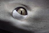 Eye of Caribbean Reef Shark Bahamas Caribbean Sea.