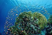 Fire Corals with Anthias, El Gouna, Red Sea, Egypt