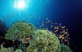 Fire Corals with Anthias, Hamata, Red Sea, Egypt