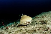 Leopard shark, Similan Islands, Thailand