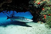 Great Barracuda, Caribbean Sea, Bahamas
