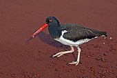 American Oystercatcher on the red sand in the Galapagos