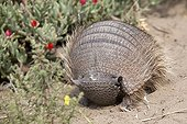 Screaming Hairy Armadillo Valdes peninsula Argentina