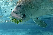 West Indian Manatee eating leaves in Crystal River USA