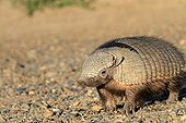 Large Hairy Armadillo Valdes peninsula in Argentina