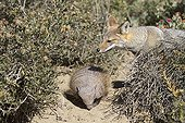 Meeting between an armadillo and a Great Grey Fox in Argentina
