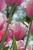 Tulips 'Salmon Impression' in bloom in a garden