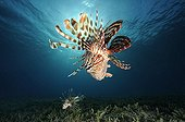 Lionfish swim above the bottom of Red Sea Egypt