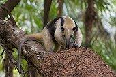 THREE-TOED ANTEATER Three-toed anteater or Northern Tamandua (Tamandua mexicana) feeding at termite nest, Belize. Captive