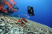 Scorpionfish and Diver above table Coral hornedRed Sea