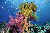 Soft coral and fire coral on the reef Red Sea Egypt