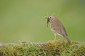 Song Thrush collecting materials to build its nest France