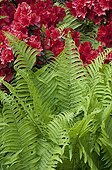 Fern and rhododendron in bloom in a garden