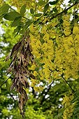 Golden Chain Tree flowers and fruits Pyrenees Spain
