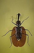 Portrait of a Violin Beetle ; Asian specie