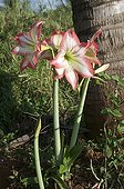 Amaryllis in bloom in New Caledonia