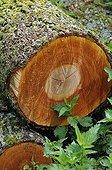 Alder forest freshly slaughteredin France ;