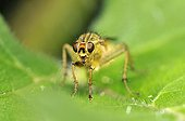 Common yellow dung Fly on a piece of Nettle in May France