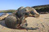 Young Galapagos Fur Seal on a beach
