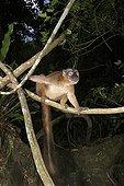 Mayotte Lemur on a branch Mayotte