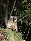 Mayotte Lemur on a rock Mayotte