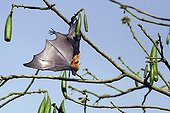 Comoros Flying fox in cheese tree Mayotte