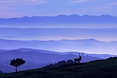 Red deer in the morning mist Sierra Morena Andalusia