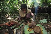 Harvesting of honey by the Pygmies Baaka Southeast Cameroon