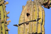 Gila Woodpecker whose nest is dug in a Cactus Mexico ; Lava from the volcano of the Three Virgins