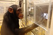 Common Chimpanzee in a research laboratory in Japan ; Exercise is to associate a picture to a photo of the same object, fruit and vegetables here.