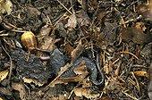 Alpine newt trying to overwinter in Oakwood Switzerland