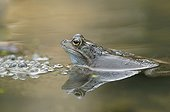 Frog and nesting in a pond forest Switzerland