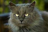 Chat bâtard gris aux poils longs et aux yeux jaunes France