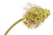 Fruit et fleur de Petite pimprenelle