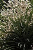 Cordyline australis in flower in a botanical garden Var