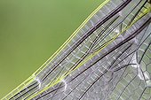 Detail of the wing of an Emperor Anax molt from France