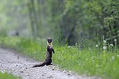 European Pine Marten on a path in Vosges France