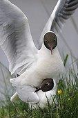 Mating of Black-headed Gull Brenne NRP France