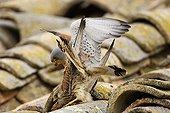 Lesser kestrels mating on a roof Spain