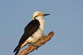 White woodpecker on a branch Brazil