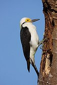 White woodpecker at the entrance of its nest Brazil